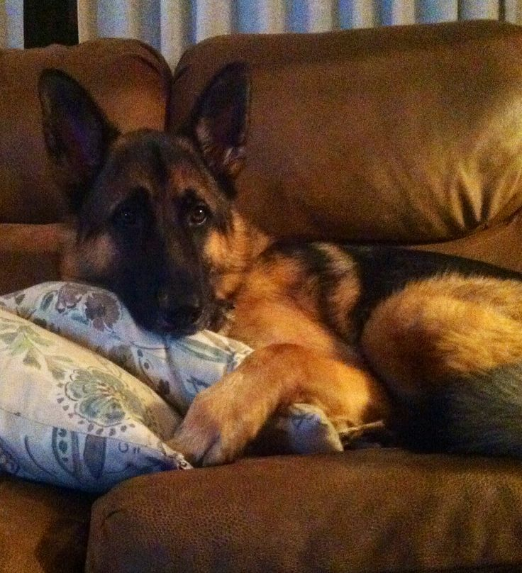 GSD Bock. So is it just me or does the look on his face remind you of a little kid watching a scary movie lol!
