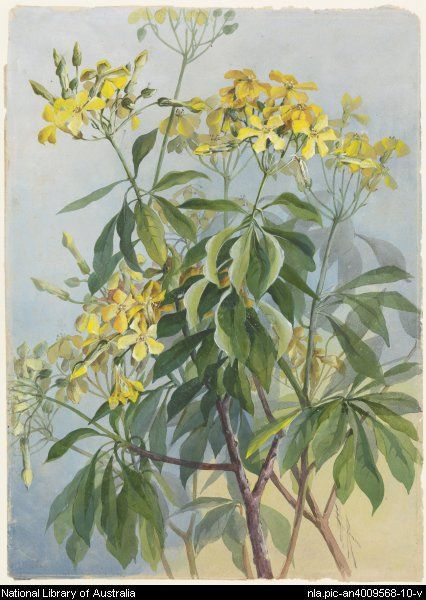 From National Library of Australia collection.  Rowan, Ellis, 1848-1922.  Hymenosporum flavum, family Pittosporaceae, Native frangipani [picture]  between 1870 and 1921. 1 painting : watercolour ; 54.8 x 37.8 cm. or smaller.  Part of Flower and bird paintings [picture] [ca. 1870-ca. 1921]   http://www.nla.gov.au/apps/cdview/?pi=nla.pic-an4009568-10   nla.pic-an4009568-10