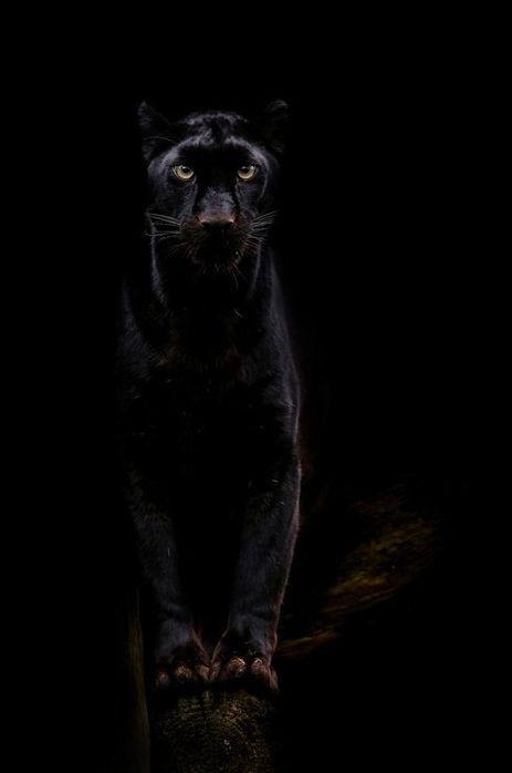 Léopard noir / Source : Communauté photo GEO, © Laetitia Guichard
