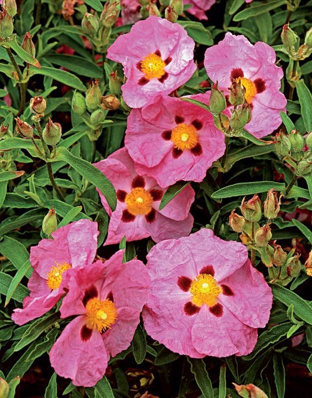 The tough evergreen shrub, Cistus x purpureus (orchid rockrose) can handle sandy and rocky soils, strong wind, and salt spray.