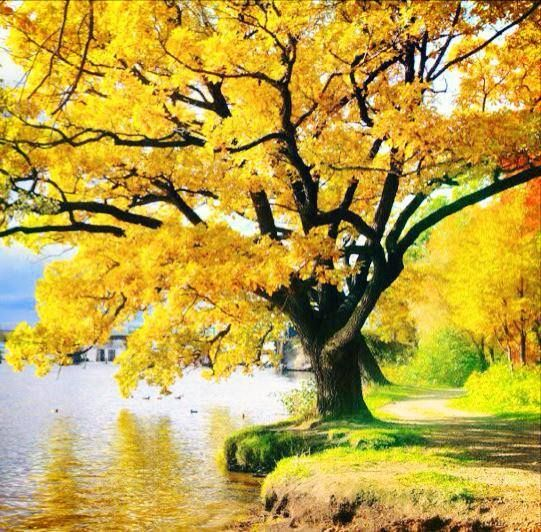 IMAGENS753: Pé-de-ipê-amarelo-florido | IMAGENS 753 ...