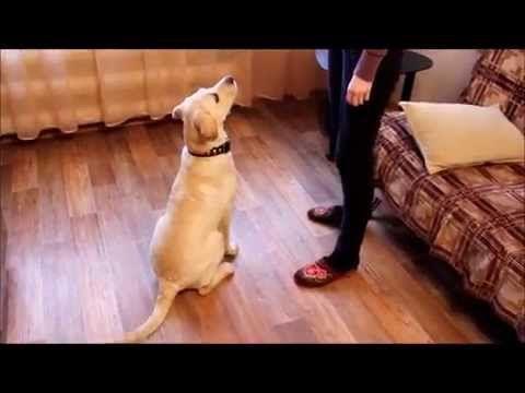 Дрессировка собаки в домашних условиях - YouTube