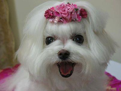#Maltese #Animals #Dog