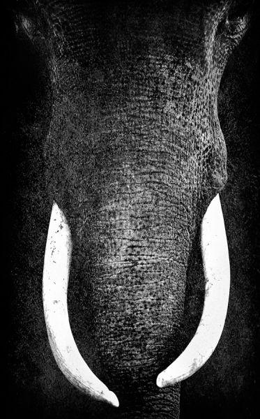 : Elephants, Elephant Art, Sarum Animalphotography, Animal Photography, Animal Kingdom, Elephant, Wildlife Photographs