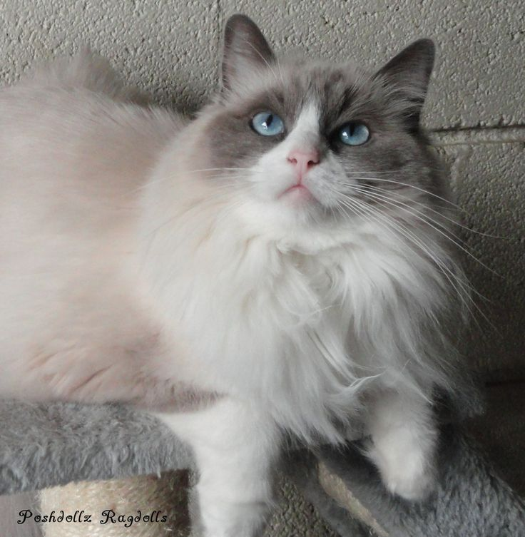 Blue Point Bicolor Ragdoll Female
