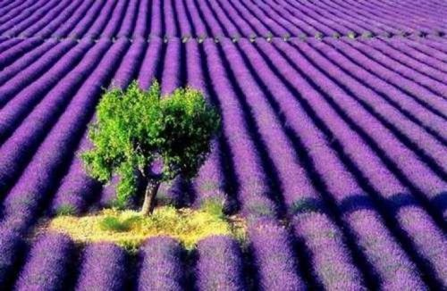 Tihany, Lavender Festival. Hungary