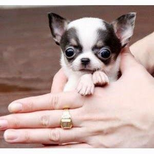See more Top 10 Smallest Dog Breeds