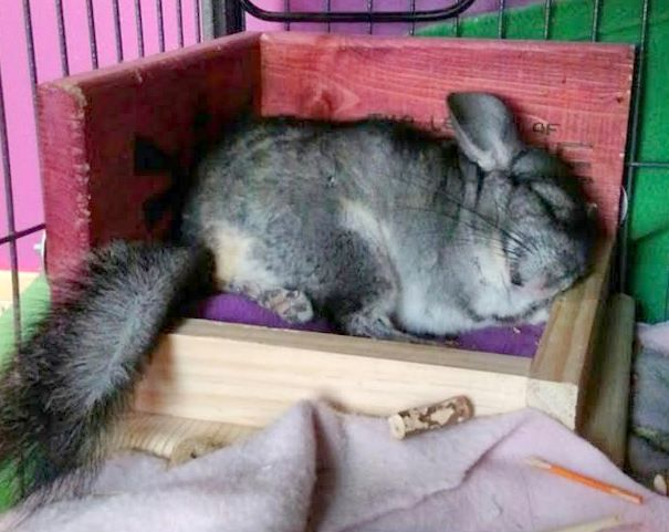 Adorable chinchilla taking a nap in their wooden toy from Twilight Chinchillas.