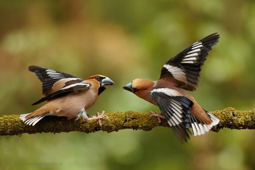 Appelvink, Hawfinch, Coccothraustes coccothraustes by foto-hobby on Flickr.
