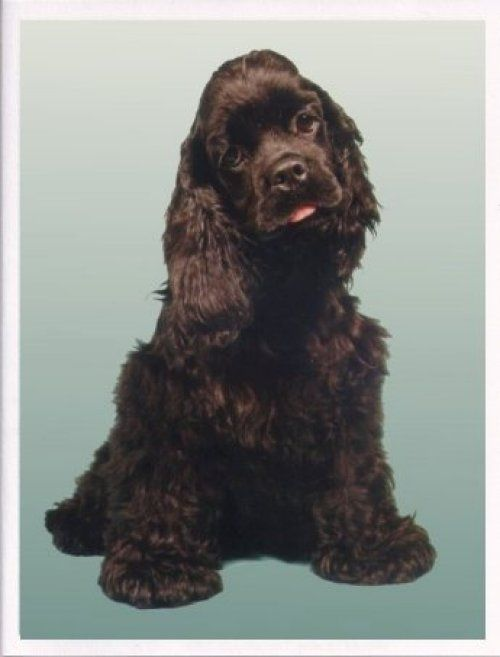 Chocolate Brown Cocker Spaniel  My absolute favorite is the Chocolate