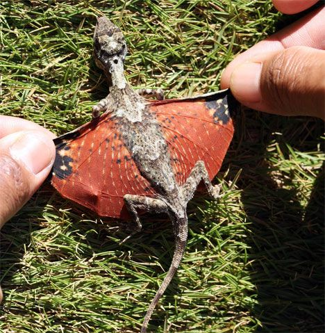 Baby dragon!: Miniatures, Forests, Baby Dragon, Real Life, Southeast Asia, Harry Potter, Babydragon, Lizards, Animal