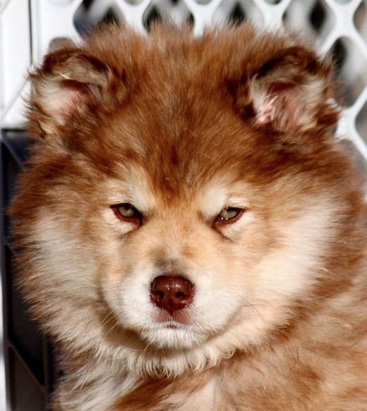 I WANT ONE SOO BAD!!! giant red alaskan malamute puppy ...