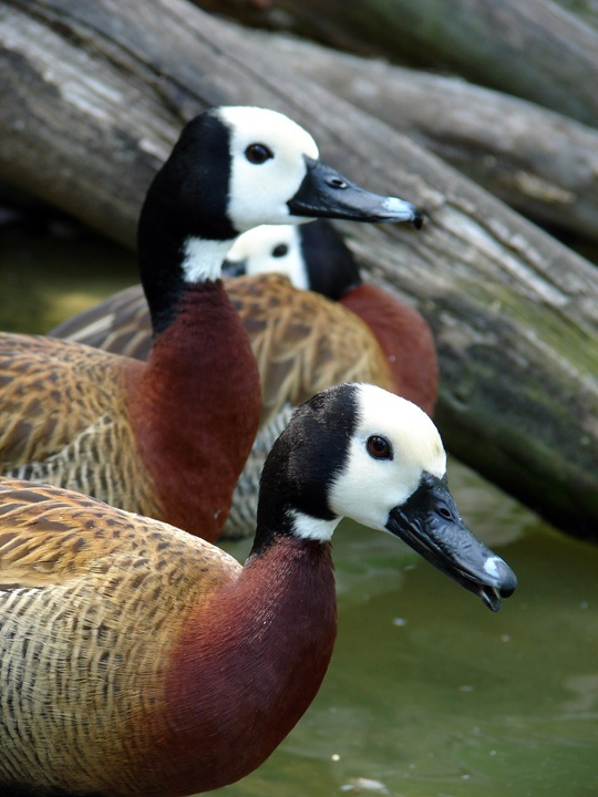 Sylvan Heights Waterfowl Park - this place is so great. highly recommended!