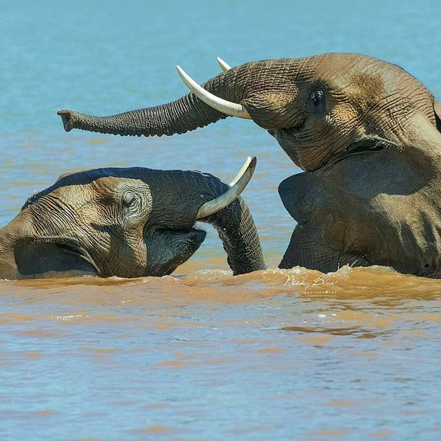 I love them. .!!Credit : @nickybluephoto -  Happy Ellie's.  These two Ellie's are having such a blast in the river - you can definitely get a sense of how happy they are playing with each other and the water. Taken in South Africa For info about promoting your elephant art or crafts send me a direct message @elephant.gifts or emailelephantgifts@outlook.com  . Follow @elephant.gifts for inspiring elephant images and videos every day! . .  #elephant #elephants #elephantlove