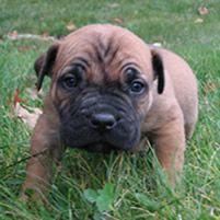 Ohio Boerboel breeder