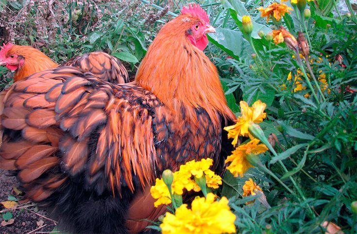 Курица, Домашняя курица, Фото курицы, Сколько курица,Петух и курица Орпингтон