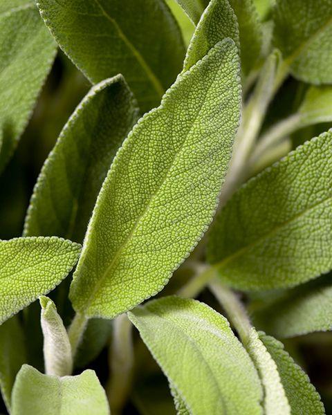 Olio di Salvia Sclarea -- La Salvia sclarea è la varietà di salvia preferita per l'uso nell'aromaterapia. È adatta a diversi tipi di pelle, in particolari unte, irritate o mature.  La salvia sclarea ha un ottimo effetto riequilibrante sulla sfera emotiva, in particolare in periodi di stress, preoccupazione o calo della libido.
