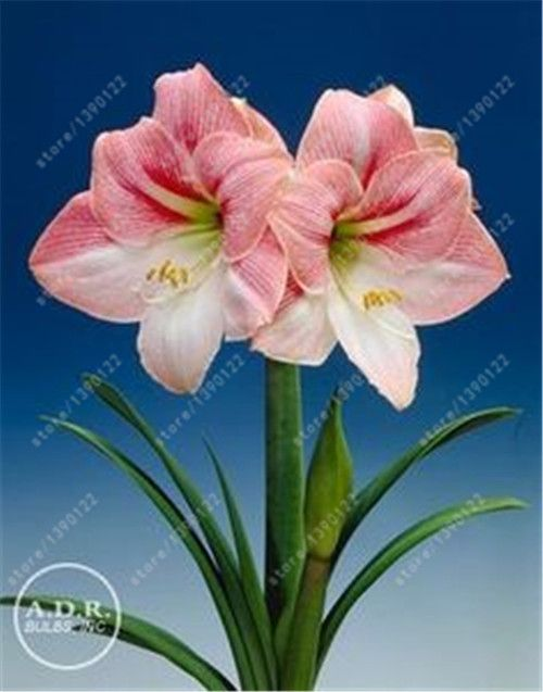amaryllis 100 cashmere