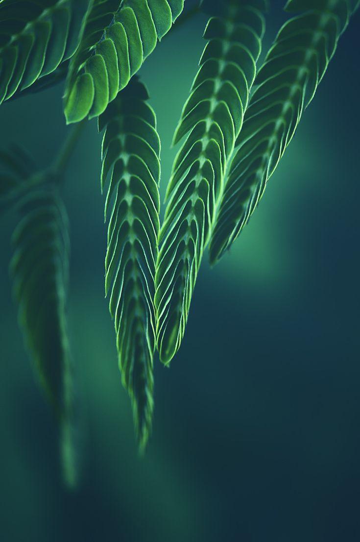 Green time   Silk Tree macro   by Manabu Oda