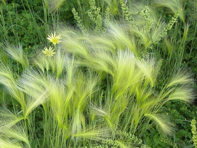 17 best images about grasses on pinterest gardens sun for Wild ornamental grasses