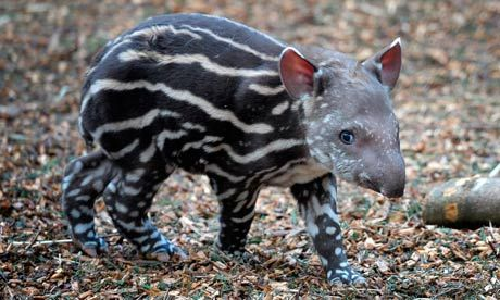New baby tapir born at Devon Zoo in England. **SQUEEEE!**