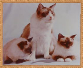 RAGNAROK RAGDOLL CATS AND KITTENS, Ragdoll cat breeder, Ragdolls in southern California, VIDACELL for cats, PET DRYER SYSTEM, Cattery Managment Book