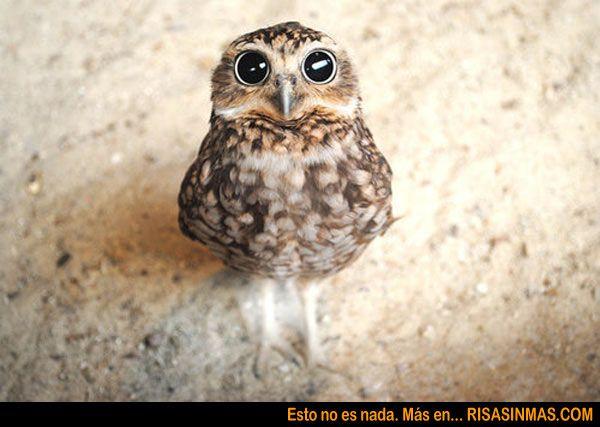 Yo también me he asustado al verte...: Animals, Stuff, So Cute, Baby Owls, Coffee, Funny, Things, Birds, Eye