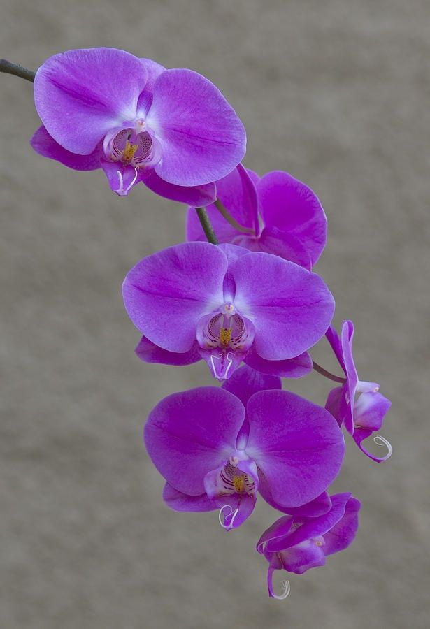 ... Tattoos Of Orchids on Pinterest   Orchids Dendrobium Orchids and
