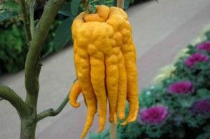 Buddha's Hand – This crazy looking fruit is also called Fingered Citron and is juiceless and seedless. It gets its name because of the long, slender segments that resemble fingers. In Chinese and Japanese homes it is mainly used to perfume homes and clothing. In Western countries, it is mainly used for its zest.