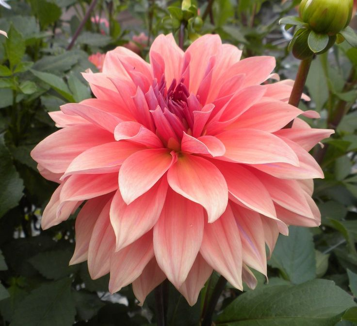 Photo Of The Bloom Of Dinner Plate Dahlia (Dahlia U0027Babylon Bronzeu0027) Posted  By Vic
