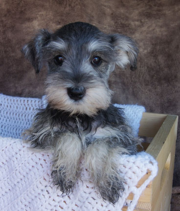 Miniature Schnauzer Puppies for sale Salt and Pepper Color ...
