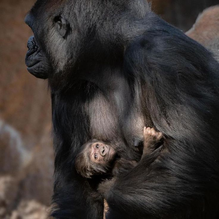 The La Zoo Welcomes An Adorable Baby Gorilla Fotoscapes In 2020 Baby Gorillas Gorilla Cute Babies