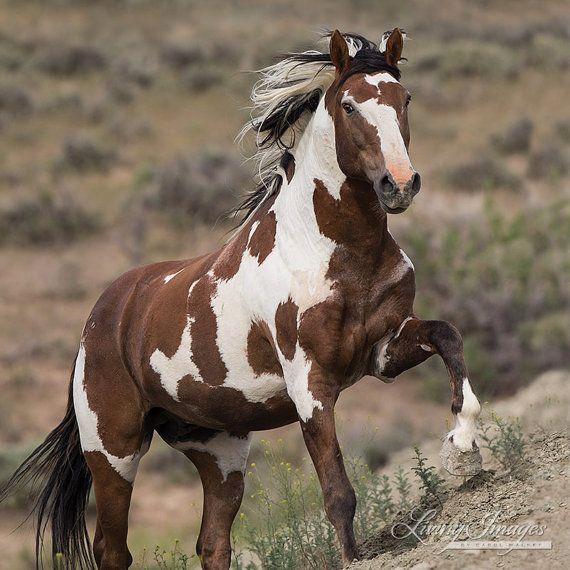 Picasso Runs Up  Fine Art Wild Horse Photograph by Carol Walker www.LivingImagesCJW.com