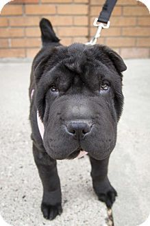 St. Louis Park, MN - Shar Pei. Meet Everly a Puppy for Adoption.