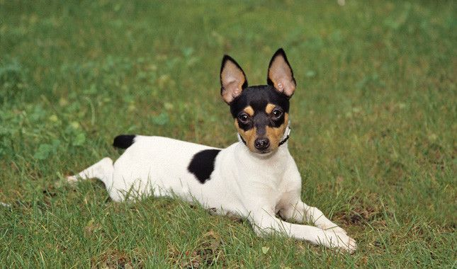 Toy Fox Terrier :: Cat & Apartment Friendly