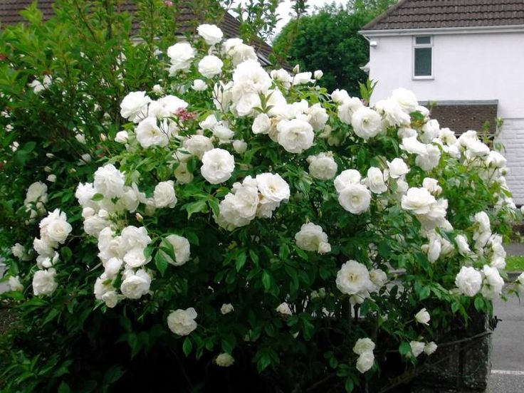 Iceberg rose norfolk landscape pinterest the o 39 jays for Rosa iceberg