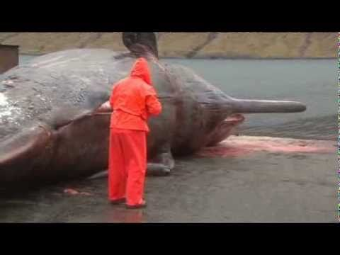 Exploding sperm whale (real time & slow motion). Warning - this is NOT for the squeamish