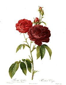 Rose - Wikipedia, the free encyclopedia