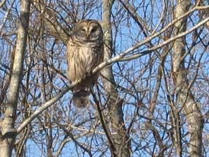 How to attract owls so they will eat the critters that eat the garden.