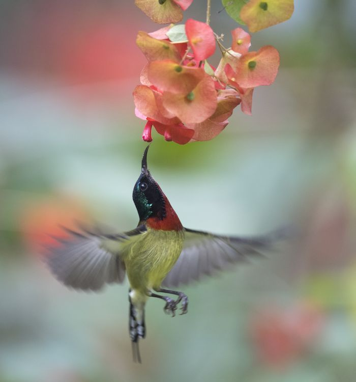 Male Sunbird, picture taken with a slower speed due to the weather.