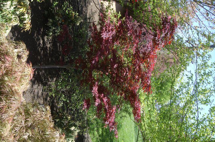 Acer palmatum 'Atropurpureum': A favourite Japanese maple with lovely deep purple foliage.