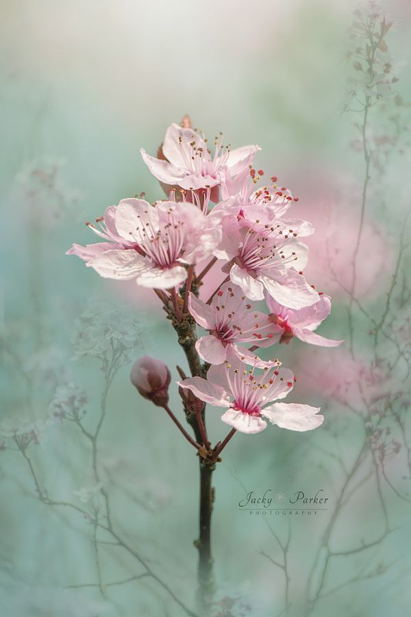 ~~Cherry Clouds | Black Cherry Plum Blossoms | by Jacky Parker~~