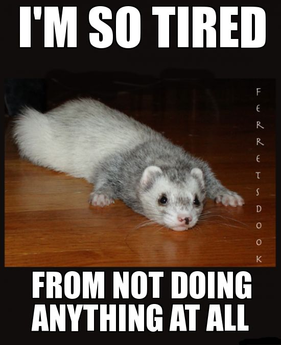 pin ferret meme on - photo #22