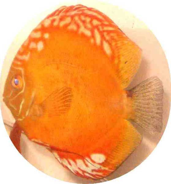 Golden dragon 4 5 inch fish tank pinterest for Discus fish price