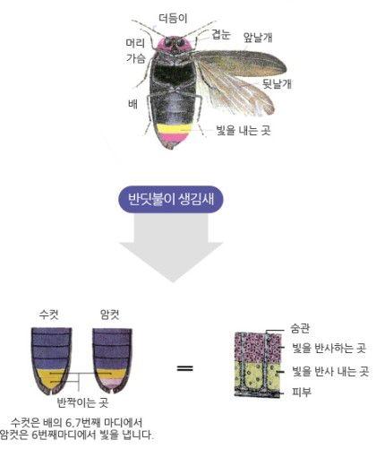 반딧불이의 분류와 구조 1.반딧불이의 분류 무척추동물(Vertebrate) : 절지동물문(Arthropoda : 몸과 다...