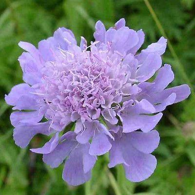 Scabiosa-x1-young-plant-seedling - Littebee Garden