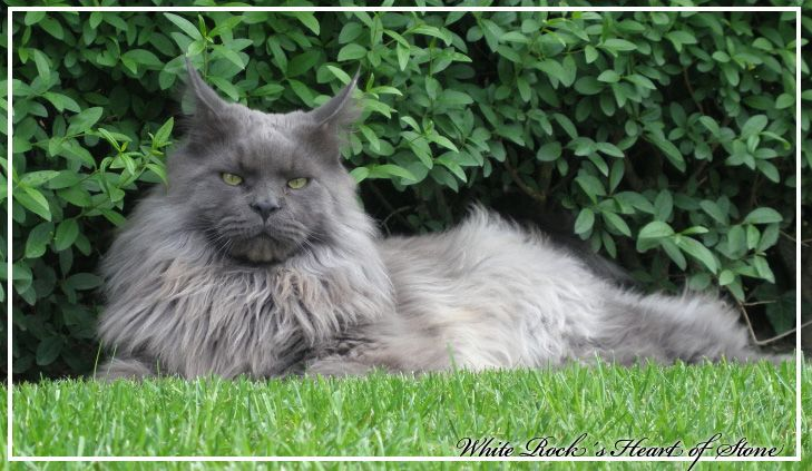 #MaineCoon #Blue #Smoke #Cats White Rocks Heart of Stone