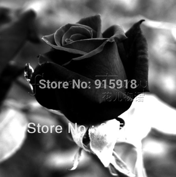 Flower seeds 1800 Pcs Rose Seeds Bonsai Pink Black White Red Purple Green Yellow Blue Rainbow Colors Home Garden Free shipping!
