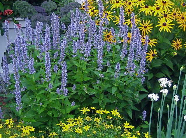 agastache blue fortune with coreopsis moonbeam in. Black Bedroom Furniture Sets. Home Design Ideas