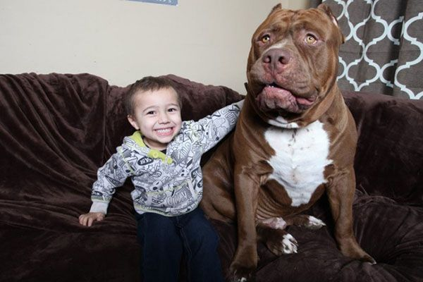 The Biggest Dog in the World Hulk with a human baby